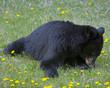 Back Bear - 223807108