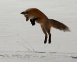Red Fox - 223807147