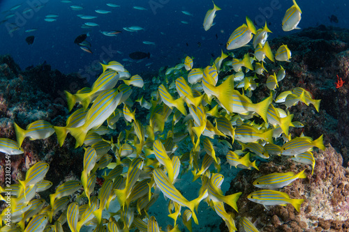 żółty Snapper Lutjanidae podczas nurkowania na Malediwach