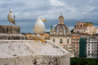 Seagulls in Rome on a rooftop with buildings in the background