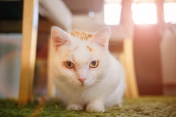 White cat closely watching