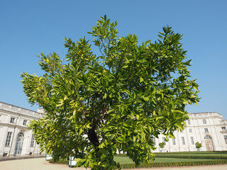 lime (Citrus x latifolia) tree