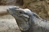 Headshot of an iguana. - 223843756