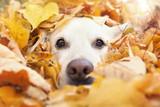 Hund schaut aus gelben Blättern heraus