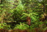 Dense thicket in the temperate rainforest, North Island, New Zealand. - 223859705