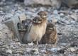 Burrowing Owl (Athene cunicularia) Juveniles at 30 Days Old
