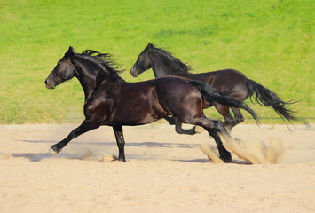 two black Frisian horses run at a gallop © Olena