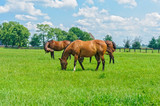 Kentucky Thoroughbred Horses