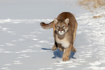 Running Mountain Lion