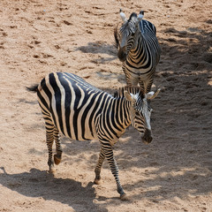 Two of Grant Zebra (species: Equus burchelli boehmi) in a some shadow on African savanna