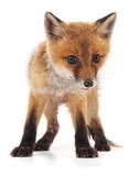 Little red fox. - 223918301