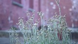 Ground level closeup of weeds growing by an old brick building with boarded up windows.  Gentle breeze moving the plant stems.  White patches on the red brick walls. - 223932512