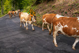 ceremonial driving down of cattle from the mountain pastures into the valley in autumn