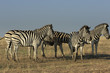 Group of five wild plains zebras stands in a dry steppe