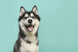 Husky dog portrait looking at the camera with mouth open on a turquoise blue background - 223977507