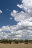 oliveto della maremma regione toscana - 223978745