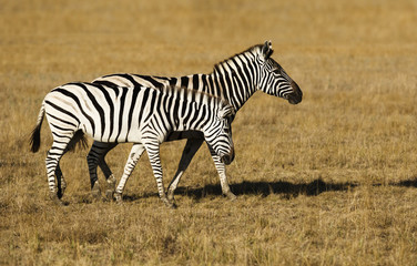 Two zebras walking across the savannah