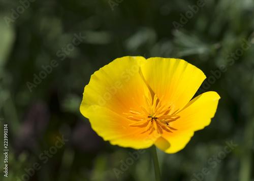 yellow poppy - 223990314