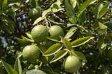 Grüne Zitronen an einem Baum in Griechenland