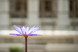 Closeup lotus flower on wall background