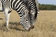 Zebra eat grass