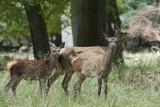 Red deer (Cervus elaphus) - 224024770