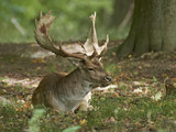Fallow deer (Dama dama) - 224031915