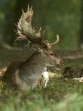 Fallow deer (Dama dama) - 224031923