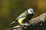 The Eurasian blue tit (Cyanistes caeruleus) sitting on the branch with green and yellow background - 224036192