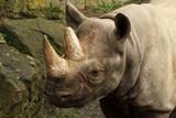 The detail of head of black rhinoceros or hook-lipped rhinoceros (Diceros bicornis) - 224036341