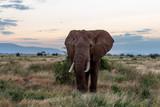 Elephants in Kenya, Africa - 224048592