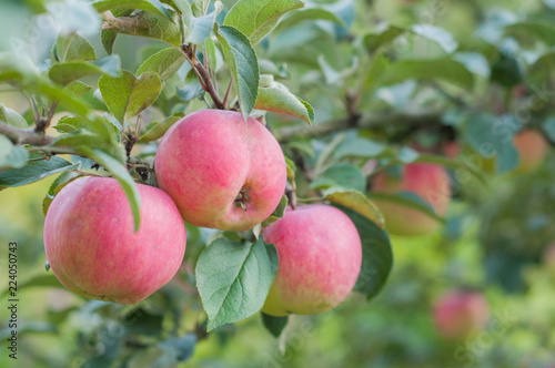 pink apples hang on a branch in the garden - 224050743