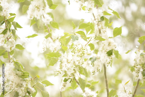 white flowers on green background - 224078394
