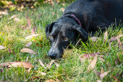 Small black dog laying in yard surrounded by leaves looking up.