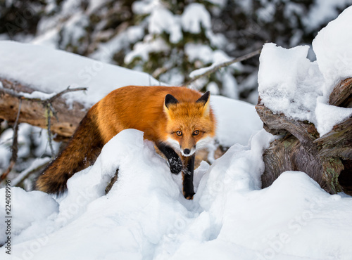 Red fox in the snow steps forward while on a hunt © Saptashaw