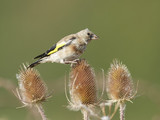 European goldfinch (Carduelis carduelis) - 224093966