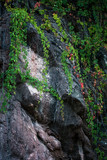climbing ivy on rocky cliff natural background - 224110727