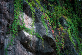 climbing ivy on rocky cliff natural background - 224110784