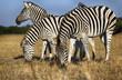 herd of zebras grazes