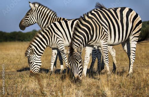 herd of zebras grazes - 224126173
