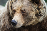 Beautiful close up portrait of the Eurasian brown bear (Ursus arctos arctos), one of the most common subspecies of the brown bear - 224137373