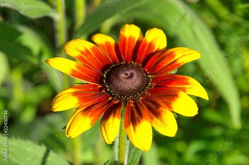 Rudbeckiа flower close-up - 224161746