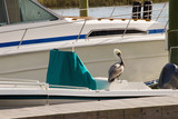 Brown Pelican Perched on a Dock at a Marina