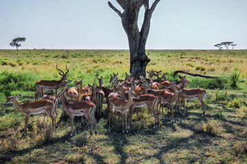 A flock of impala cools in the shadow under a tree on the savannah in Serengeti, Tanzania.