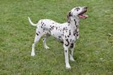 Cute dalmatian puppy is standing in a green grass. Pet animals.
