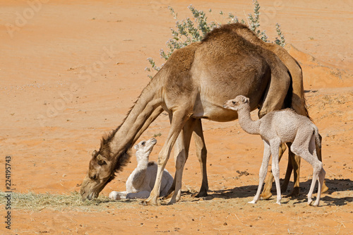 Fototapeta Camels with young calves on a desert sand dune, Arabian Peninsula.