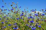 blau blühende Kornblume auf den Feldern Makro