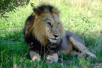Lion Big Cat , South Africa Safari