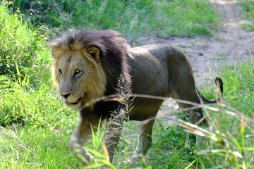 Wild Lion South Africa