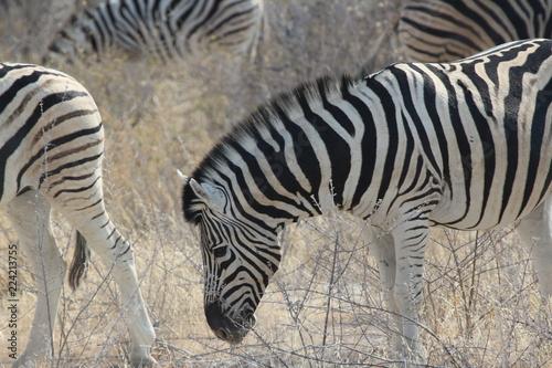 Zebra in Afrika - 224213755